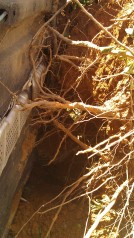 This is the root ball and the underside of my flipped car. (photo by Tanya Mikulas)
