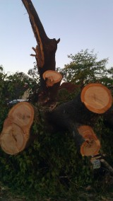 This tree was so huge. (photo by Tanya Mikulas)